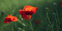 Mohnblumen der Liebe von mohnblumen