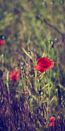 Mohn der Sehnsucht von mohnblumen
