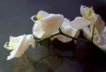 Panorama-orchideen-1