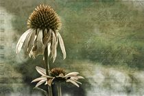 Echinacea by Regina Hauke
