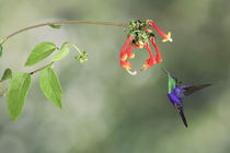 Violet-crowned woodnymph hummingbird by Gregory Basco