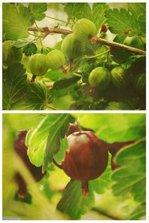Summer: Gooseberries von Sybille Sterk