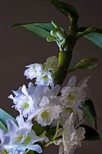 Orchidee, Dendrobium nobile von pahit