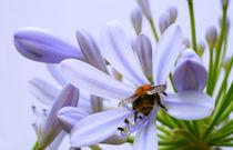 Agapanthus mit Hummelchen. by blickpunkte