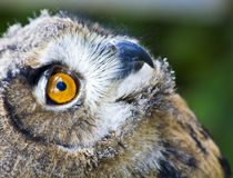 Eagle-owl-baby-face-look-up-maf2011
