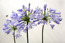 Angriff auf Agapanthus by blickpunkte