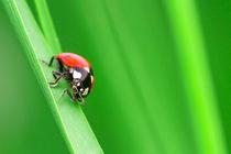 Ladybug von Didier Kobi