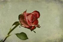 Rose-img-2977