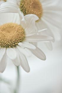 daisies von Stella Melnichenko