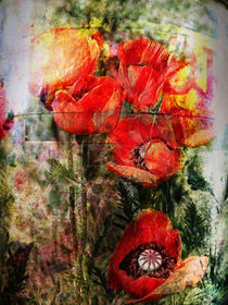 Wilder Mohn by pahit
