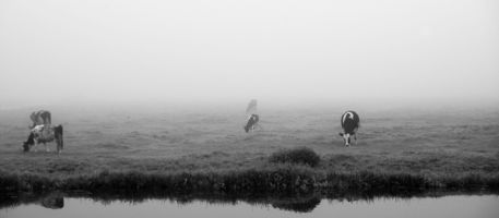 Cows-in-the-mist