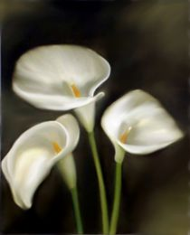 drei Calla by Ingrid Clement-Grimmer