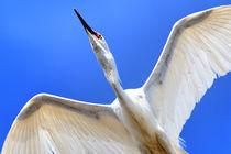 Egret Fly-Over - Snowy Egret (Egretta thula) by Eye in Hand Gallery