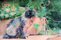 Katze mediterran von pahit