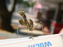 Little mantis lost in town von pahit