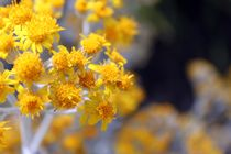 Yellow-bunches
