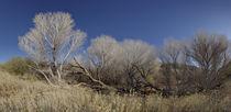 Aspen Trees on Marsh Trail by Robert Oelman