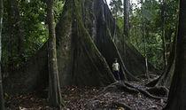 Giant Ceiba Tree at Amacayacu by Robert Oelman