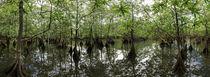 Mangrove Swamp by Robert Oelman