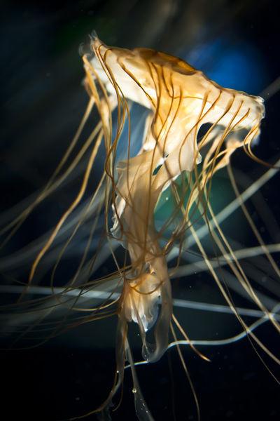 Jellyfish3