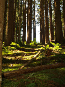Austrian trees / forrest with sunlight von Sarah Clark