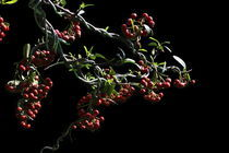 Bonsai, Berries by Soumen Nath