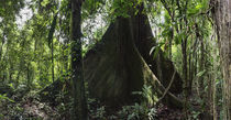 Giant Ceiba Tree by Robert Oelman