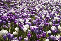 Purple and White Crocuses by tgigreeny