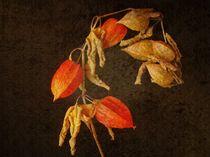 Physalis by Elke Balzen
