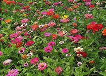 Field-of-zinnias-2