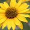 Blume-gelb-3