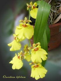 Oncidium bifolium von reorom