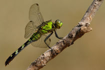 Eastern Pondhawk (Erythemis simplicicollis) von Howard Cheek