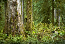 Hoh-rainforest