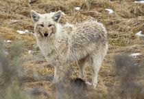 Coyote in Winter by tgigreeny