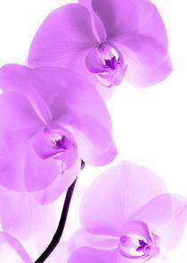Orchideen Kunst Pink by Falko Follert