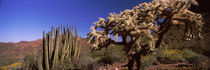 Organ Pipe cacti, Organ Pipe Cactus National Monument, Arizona, USA von Panoramic Images