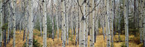 Aspen trees in a forest, Alberta, Canada von Panoramic Images