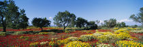 Almond trees in a field, Poppy Meadow, Majorca, Spain by Panoramic Images