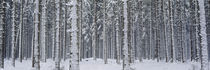 Snow covered trees in a forest, Austria by Panoramic Images