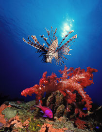 Lionfish) and Squarespot anthias with soft corals in the ocean by Panoramic Images