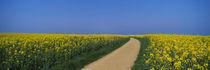 Dirt road running through an oilseed rape field, Germany von Panoramic Images