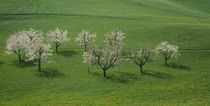 Blooming Cherry Trees on meadow Canton Zug Switzerland by Panoramic Images