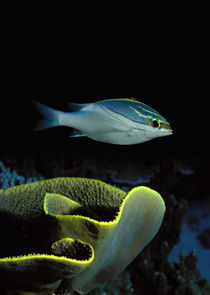 Two-Lined monocle bream (Scolopsis bilineata) and coral in the ocean by Panoramic Images
