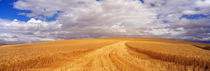 Wheat Field, Washington State, USA von Panoramic Images