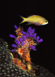Bluebell tunicate and Anthias Fish  in the sea von Panoramic Images