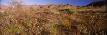 Wildflowers in a field, Anza Borrego Desert State Park, California, USA von Panoramic Images
