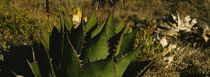 Close-up of an aloe vera plant, Baja California, Mexico by Panoramic Images