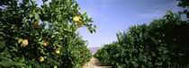 Crop Of Lemon Orchard, California, USA by Panoramic Images