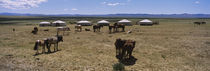 Group of horses and yurts in a field, Independent Mongolia by Panoramic Images